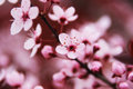 Wild plum blossom of tree nature photography Royalty Free Stock Photos