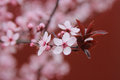 Wild plum blossom of tree nature photography Stock Photos
