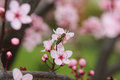 Wild plum blossoming with bee nature photography Stock Image