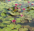 Wild pond with lotuses Royalty Free Stock Photo