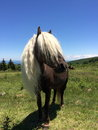 Wild ponies of the grayson highlands state park virginia these are that roam these open mountain bald s in appalachian trial runs Stock Image