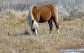 Wild ponies have inhabited assateague island hundreds years some have suggested wild ponies assateague trace their origin to Stock Photography