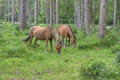 Wild ponies in new forest national park grazing Stock Image