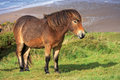 Wild pony above woolacombe beach Stock Image