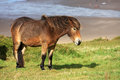Wild pony above woolacombe beach devon Royalty Free Stock Photo
