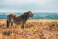 Wild pony in exmoor national park england on haddon hill the appears to be laughing although it is really showing signs of alarm Stock Image