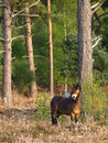Wild pony a exmoor stands in a forest clearing Royalty Free Stock Photo