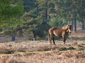 Wild pony a exmoor stands in a forest clearing Stock Photos