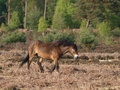 Wild pony a exmoor stands in a forest clearing Stock Images