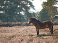Wild pony a exmoor stands in a forest clearing Royalty Free Stock Photos