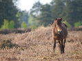 Wild pony a exmoor stands in a forest clearing Royalty Free Stock Photography