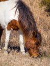 Wild Pony Grazing, Assateague Island National Seashore Royalty Free Stock Photo