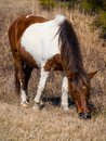 Wild Pony Grazing, Full Frame, Assateague Island National Seashore Royalty Free Stock Photo