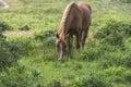 Wild pony Royalty Free Stock Photo