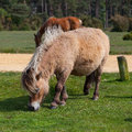 Wild pony in new forest national park the great britain Stock Photo