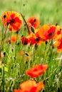Wild poppies Stock Image