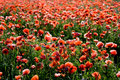 Wild poppies field Royalty Free Stock Photography