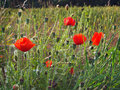 Wild Poppies and seed heads Royalty Free Stock Image