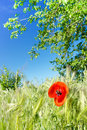 Wild poppy Royalty Free Stock Photography