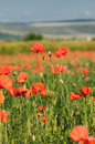 Wild poppy field Stock Photo