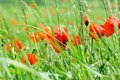 Wild poppy flower beautiful red in high green grass Royalty Free Stock Photo