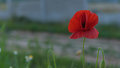 Wild poppy flower closeup Royalty Free Stock Photo