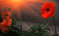 Wild poppy flower in the sun. remembrance. Royalty Free Stock Photo