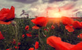 Wild poppy flower at sunset Royalty Free Stock Photo
