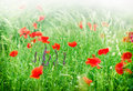 Wild poppy flowers flower in the meadow Stock Photography