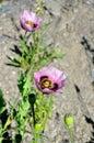 Wild poppy mauve Royalty Free Stock Photo