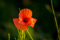 Wild poppy Royalty Free Stock Photo