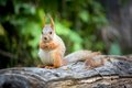 Wild pretty squirrel sitting on log and eating Stock Photography