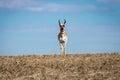 Wild Pronghorn Antelope Staredown Royalty Free Stock Photo
