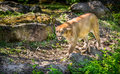 Wild puma cat searching for a prey Stock Photo