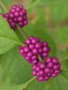Wild purple berries Royalty Free Stock Images