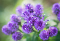 Wild purple flowers selective focus with shallow depth of field Royalty Free Stock Image