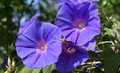 Wild purple morning glory in sunlight majorca Stock Photography