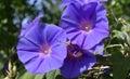 Wild purple morning glory Royalty Free Stock Photo
