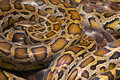 Wild python the snake like to sleep Royalty Free Stock Photos