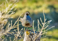 Wild quail sits on a fence in the morning light bird fencce post Stock Photos