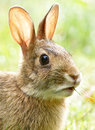 Wild Rabbit Bunny Royalty Free Stock Photo