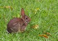 Wild rabbit cottontail that has come in to feast on the grass Stock Photos