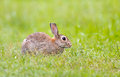 Wild Rabbit in grass Stock Photo
