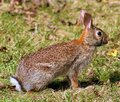 Wild rabbit in Michigan brown bunny Royalty Free Stock Photo