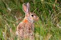 Wild Rabbit in Natural Setting Stock Images