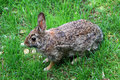 Wild rabbit over the grass looking for direction where to hide Royalty Free Stock Photography