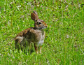 Wild rabbit seating in the grass Royalty Free Stock Image