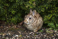 Wild rabbit in spring time horizontal photo of with focus on eye flower bed during season Royalty Free Stock Photos