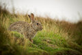 Wild rabbit in the yorkshire dales uk Royalty Free Stock Photography