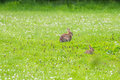 Wild rabbits on a meadow Royalty Free Stock Image